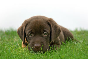 Chocolate Lab Puppy (300w)