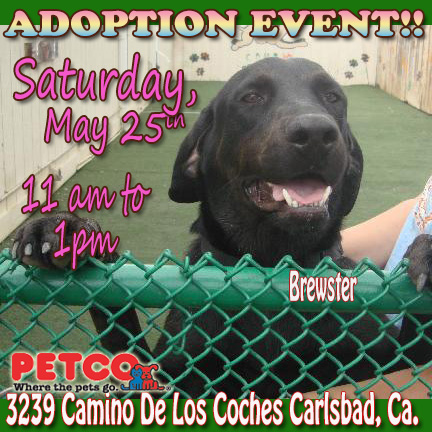 Adopt Lab in Carlsbad at Petco on Sat may25 11-1
