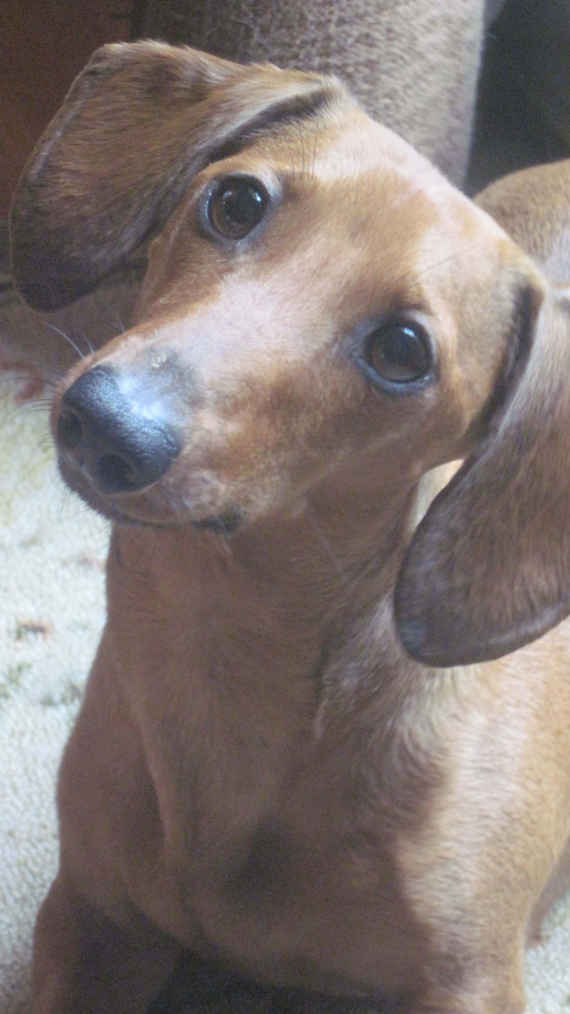 doxie tilting head close up